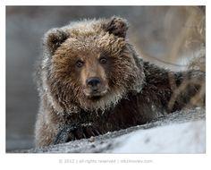 Bear Cub, Kamchatka, Russia