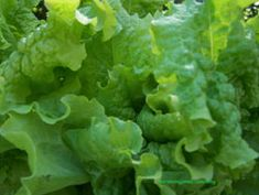Vegetable Plants That Will Grow in Shade or Part Shade on http://www.hortmag.com