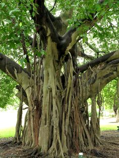 Google Image Result for http://australiaimages.net/Australia-banyan-tree-Brisbane-gardens-Timm-Williams.jpg