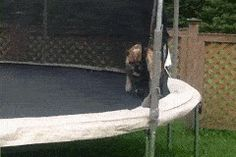 This trampolining bulldog.