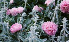 Kombinationen rosa och grått hör hemma i den romantiska trädgården, det skapar lugn fast det lyser upp. Luktpionerna sprider sin doft vida kring där de sticker upp i mattan av lammöron, Stachys byzantina. Stachys Byzantina, Companion Planting, Plant Design, Garden Inspiration, Flowers, Plants, Garden Parties, Espadrilles, Cottage