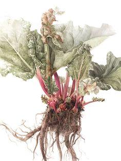 Botanical Paintings by Elaine Searle