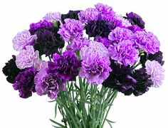 Mixed purple carnations (grown this way, not dyed!). Great for weddings, events, and just showing that you care. $53.85 for 40 carnations and more arrangements available.