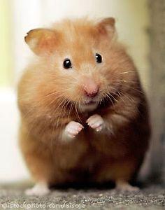 Cute and chubbs hamster :)