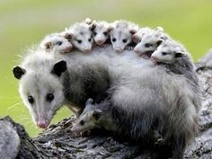 Opossums with babies on its back.