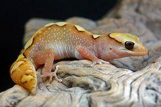 Diplodactylus galeatus #geckos #lizards