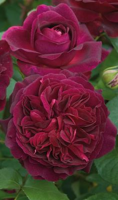 English Shrub Rose: Rosa 'Munstead Wood' (U.K., 2007)