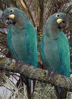Glaucous Macaws (Anodorhynchus glaucus) Glaucous means blueish  green or blue gray like fog
