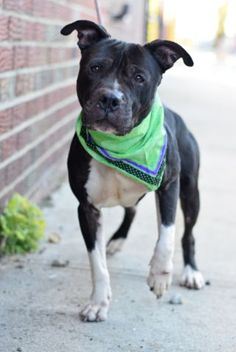11/27/16 THIS WONDERFUL PRECIOUS SENIOR IS LISTED TO BE MURDERED BY NOON TODAY!! NOVEMBER IS ADOPT A SENIOR MONTH!! REMEMEBER? Brooklyn Center My name is YALE. My Animal ID # is A1096531. I am a male black and white am pit bull ter mix. The shelter thinks I am about 6 YEARS old. I came in the shelter as a STRAY on 11/11/2016 from NY 11221, owner surrender reason stated was STRAY.