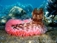 pink sea slugs | This is a sea slug doesn't always come with a pink frill, it is ...