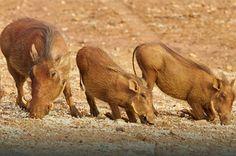 Warthog by guest Mark Farrington