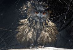 A European eagle owl prances in its new outdoor enclosure at the zoo in Duisburg, Germany, on January 30, 2015. This superb owl is one of two, <span>in danger of extinction</span>, newly hosted by the zoo.