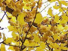 Jinan dvoulaločný (Ginkgo biloba) Fruit, Plants, Food, Drawing Drawing, Essen, Meals, Plant, Yemek, Eten