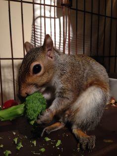 Squirrel & broccoli