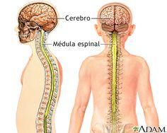el sistema nervioso central y periferico para colorear - Buscar con Google