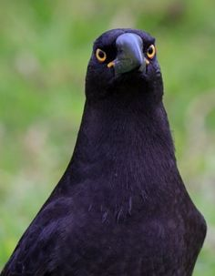 Black Currawong | BirdLife Australia