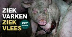 Recente undercoverbeelden uit Nederlandse varkenshouderijen tonen het schokkende leven van zieke en gewonde varkens. Help de varkens en roep de minister op tot actie!