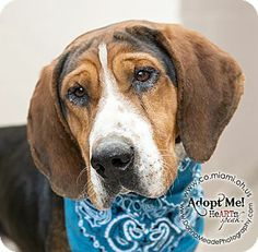 URGENT!  I am at a kill shelter in Troy, OH - Coonhound. Meet Judd a Dog for Adoption.