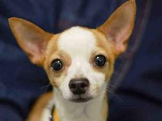 SAFE RTO --- Brooklyn Center   CHEWY - A1023297   NEUTERED MALE, TAN / WHITE, CHIHUAHUA SH MIX, 6 yrs STRAY - ONHOLDHERE, HOLD FOR ID Reason STRAY  Intake condition EXAM REQ Intake Date 12/16/2014, From NY 11208, DueOut Date 12/19/2014,   https://www.facebook.com/Urgentdeathrowdogs/photos/pb.152876678058553.-2207520000.1418765570./922852414394305/?type=3&theater