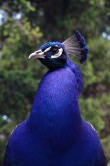 Male Peacock Face stock photo