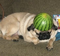 pug watermelon