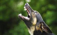 Billedresultat for barking dog