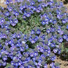 "Veronica pectinata 'Blue' ( Woolly Speedwell ) 3.5"""
