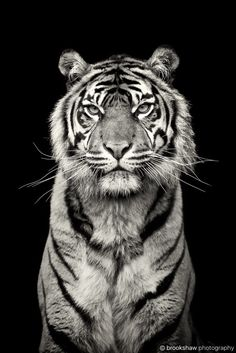 This is Kirana, the stunning female Sumatran Tiger at Chester Zoo. I love tigers in B&W - I should do more of these. Beautiful Cats, Animals Beautiful, Simply Beautiful, Wildlife Photography, Animal Photography, Beauty Photography, White Photography, Big Cats, Cats And Kittens