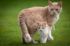El comportamiento de mamá gata antes, durante y después de los gatitos