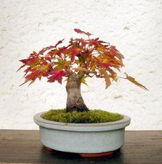 Acer Palmatum Orange glow shohin bonsai                                                                                                                                                                                 Mehr