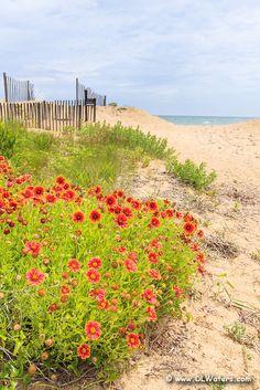 Beautiful orange gaillardia flowers growing in the sand at a Kitty Hawk beach.