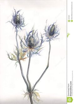 watercolor paintings of thistle | More similar stock images of ` Thistle plant watercolor painting `