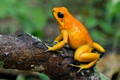 A photo of a golden poison dart frog