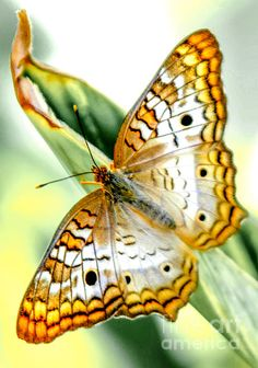 ~White Peacock Butterfly Photograph by Michael P Ray~