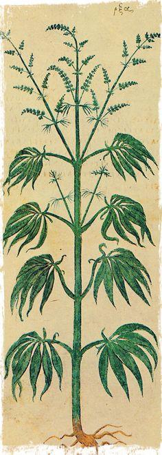 L'huile de chanvre, poser un autre regard sur le cannabis | Chez L'Apothicaire