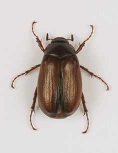 I am terrified of these guys!! Their sticky legs FREAK me out!!! june bug