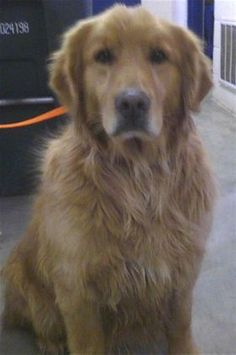 Boomer has been adopted! This Boomer - 5 yrs. He came from a shelter. He is heartworm positive and undergoing treatment. He is neutered, current on vaccinations and potty trained. Boomer is looking for a forever home and is at Middle Tennessee Golden Retriever Rescue.