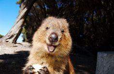 世界一幸せそうな動物、クアッカワラビーに元気をもらおう!