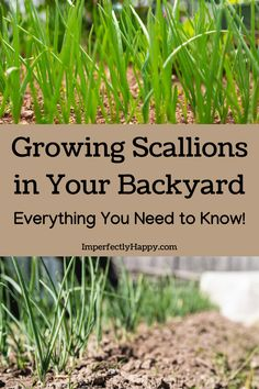 How to Grow Scallions or Green Onions in Your Backyard Garden. Everything you need to know. Green Onions Growing, Growing Herbs, Growing Vegetables, Sustainable Gardening, Vegetable Gardening, Gardening Tips, Types Of Herbs, Modern Homesteading, Garden Posts