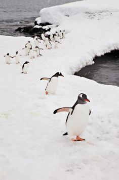 Penguins, Neko Harbour, Antarctica by Terrini Beautiful Birds, Beautiful World, Animals Beautiful, All Gods Creatures, Sea Creatures, Penguin Love, Penguin Parade, Penguin Images, Penguin Baby