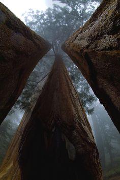Among giants - California redwoods #America #beauty #tree