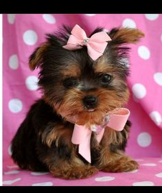 I will have one, one day!... Tea cup yorkie too cute☺