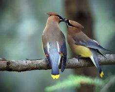 waxwing romance - Beak to beak - two cedar waxwings feeding each other while perched on a branch.