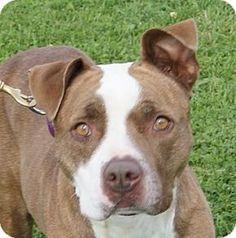 Monroe, MI - MONROE SPCA, /Pit Bull Terrier Mix. Meet Kamalli, a dog for adoption. http://www.adoptapet.com/pet/14737540-monroe-michigan-boxer-mix
