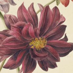 Dahlia's, Willem Hekking (I), 1806 - 1862 - Collection-Verzameld werk van Michael Nicolson - Alle Rijksstudio's - Rijksstudio - Rijksmuseum