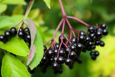 Elderberry - the magical berry Plant Nursery, Fresh And Clean, Trees And Shrubs, Native Plants, Ontario, Nativity, Healthy Lifestyle, Seeds, Fruit