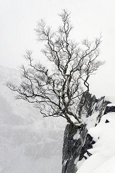 A Rowan tree in winter in the Dinorwic Slate Quarry 02