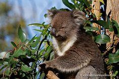 Koala - Kangaroo Island, Australia