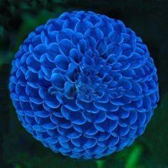 Blue Dahlia, Blue Flowers, Dahlia Flowers, Colorful Flowers, Marigold Flower, Yellow Roses, Pink Roses, Unusual Flowers, Beautiful Flowers