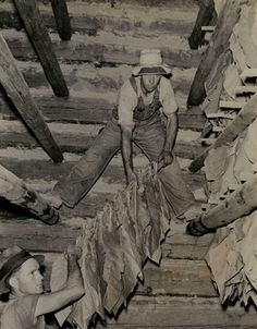 Hanging tobacco in a log barn...I used to hand sticks up to be hung after I strung the leaf bats on the stick...strong!